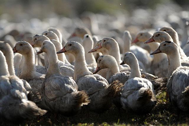 À Monbahus, 1 950 canards ont dû être euthanasiés.|Photo DR